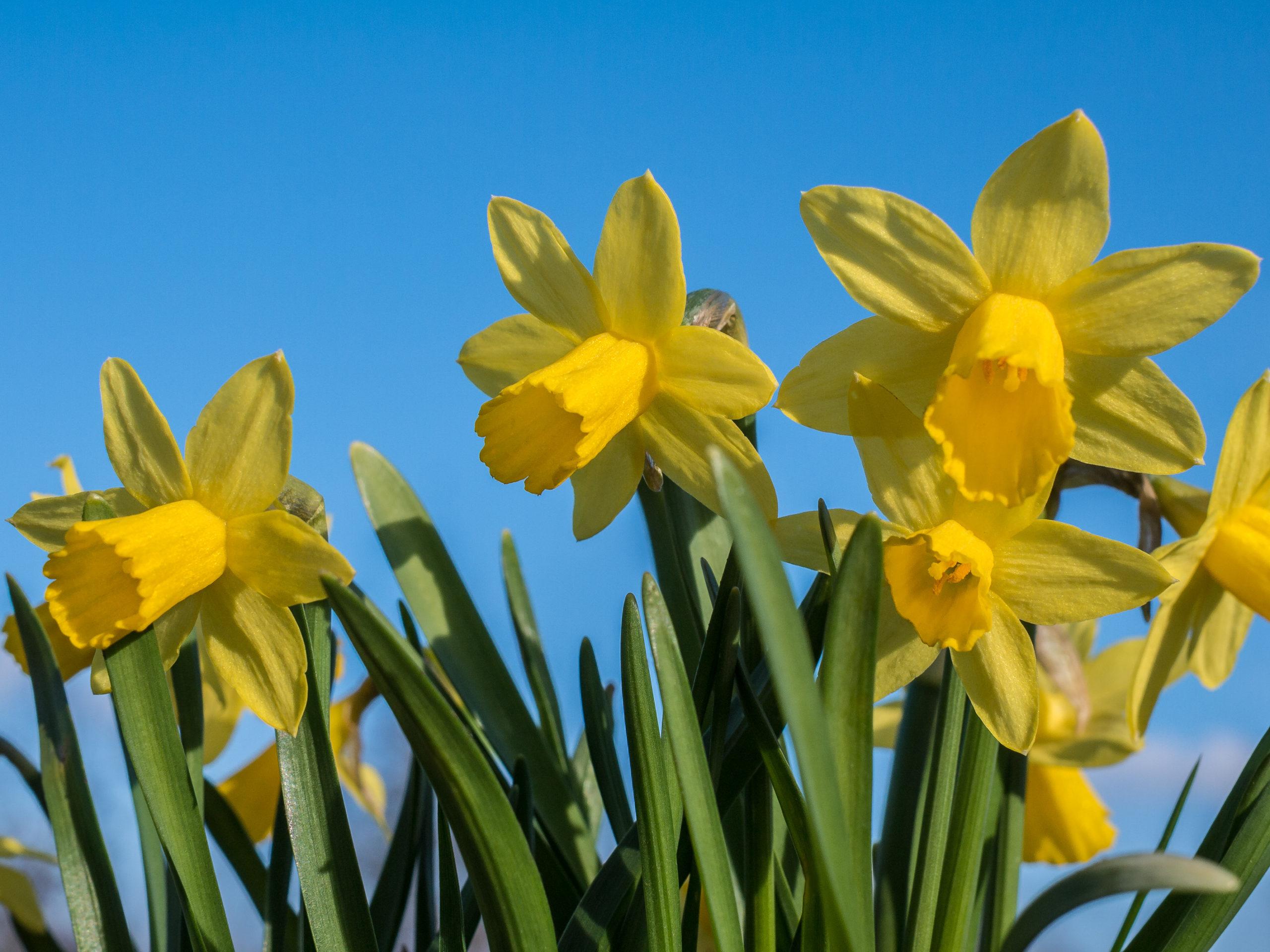 Levering Narcissen op zaterdag 13 maart